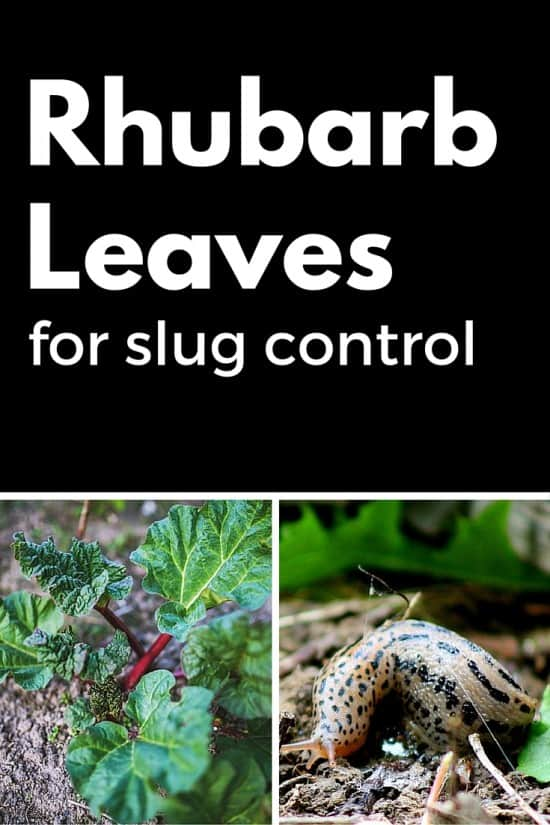 Rhubard Leaf Makes Great Slug Trap