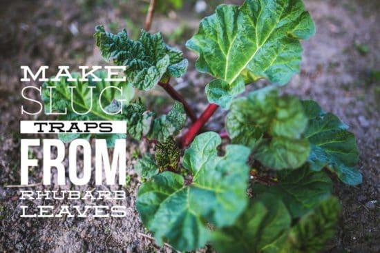 make slug traps from rhubarb leaves