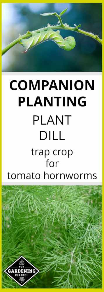 grow dill as trap crop for tomato hornworms