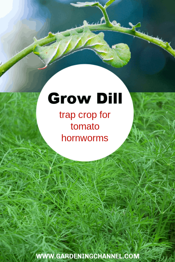 tomato hornworm and dill in garden with text overlay grow dill trap crop for tomato hornworm