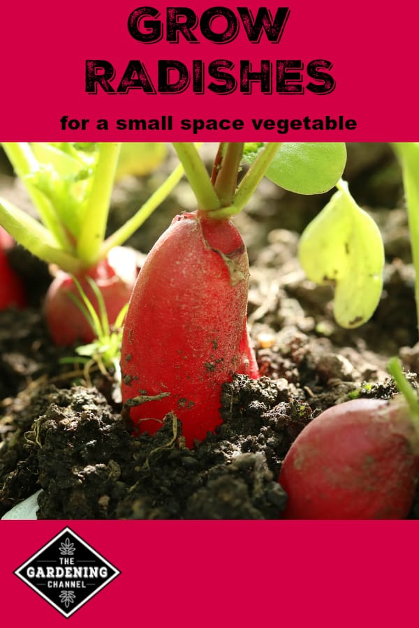 radishes growing in garden with text overlay grow radishes for a small space vegetable