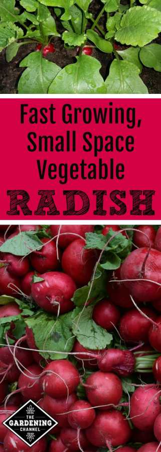 grow small space vegetable garden radishes