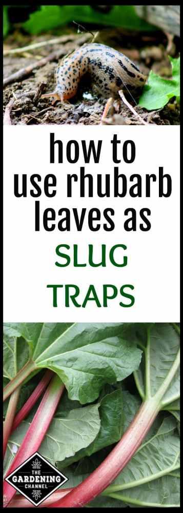 slug control rhubarb leaves