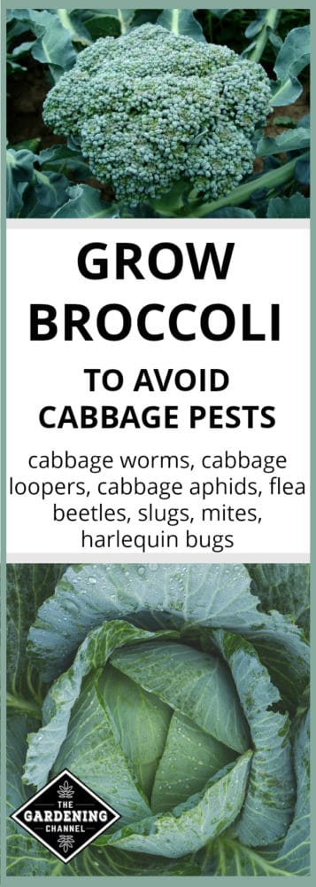 broccoli and cabbage plants growing in garden with text overlay of grow brocccoli to avoid cabbage pests