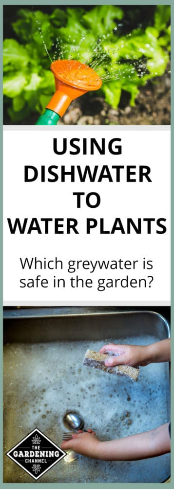 watering can watering garden lettuce and kid washing dishes in sink with dishwater and text overlay using dishwater to water plants which greywater is safe in the garden