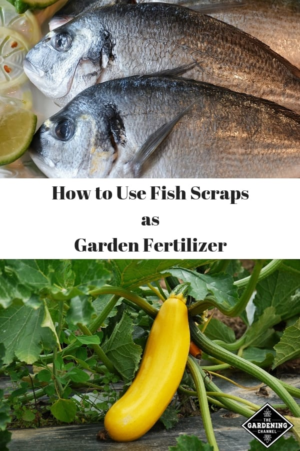 fish and vegetable gardening with text overlay how to use fish scraps as garden fertilizer
