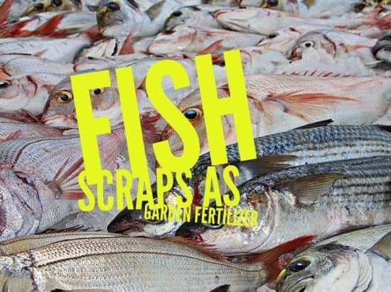 Use fish scraps as garden fertilizer