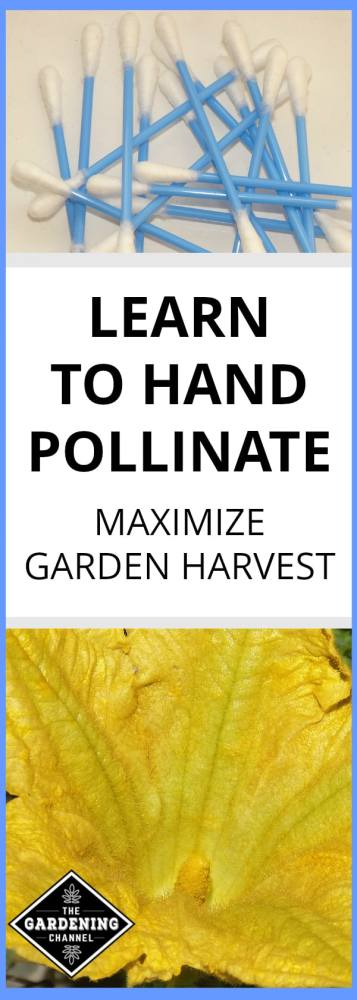 cotton swabs to pollinate close up squash blossom with text overlay learn to hand pollinate maximize garden harvest