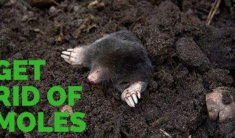 Get Rid of Moles in the Garden