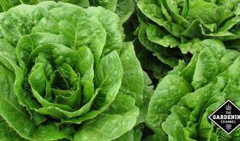How to Grow Lettuce Year Round