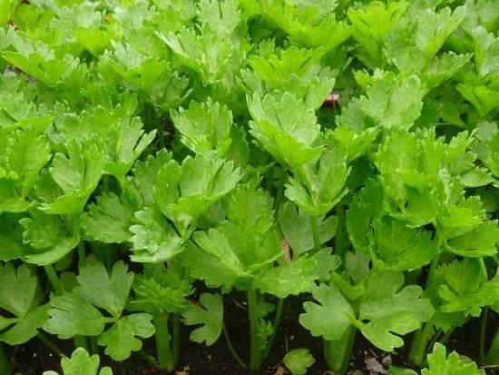 Growing Organic Celery