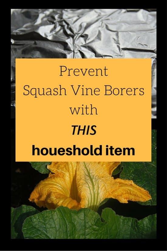 Prevent Squash Vine Borer with Aluminum Foil
