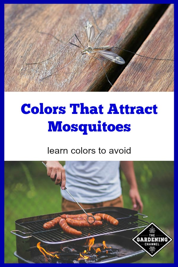 mosquito on deck and man grilling in backyard with text overlay colors that attract mosquitoes learn colors to avoid