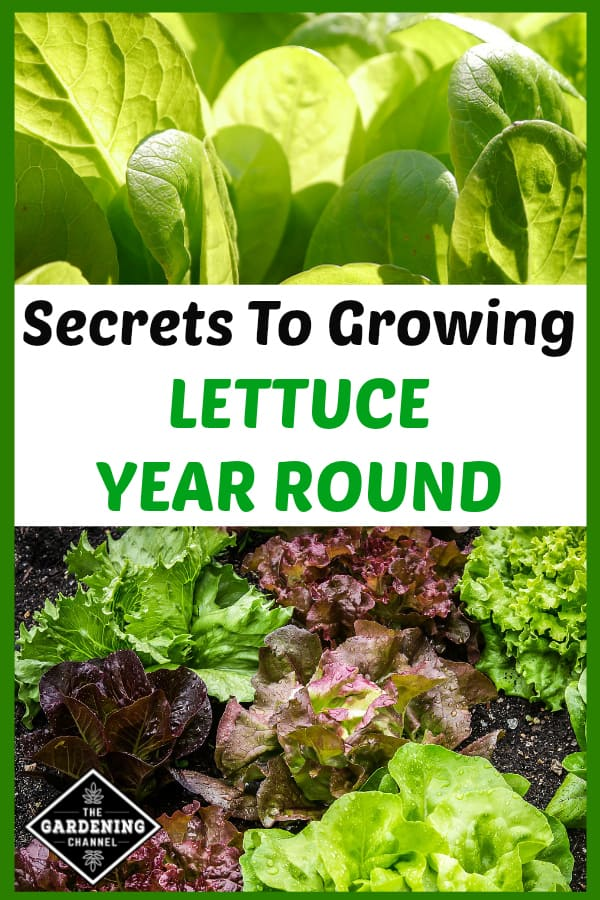 romaine growing in garden and lettuce growing in garden with text overlay secrets to growing lettuce year round