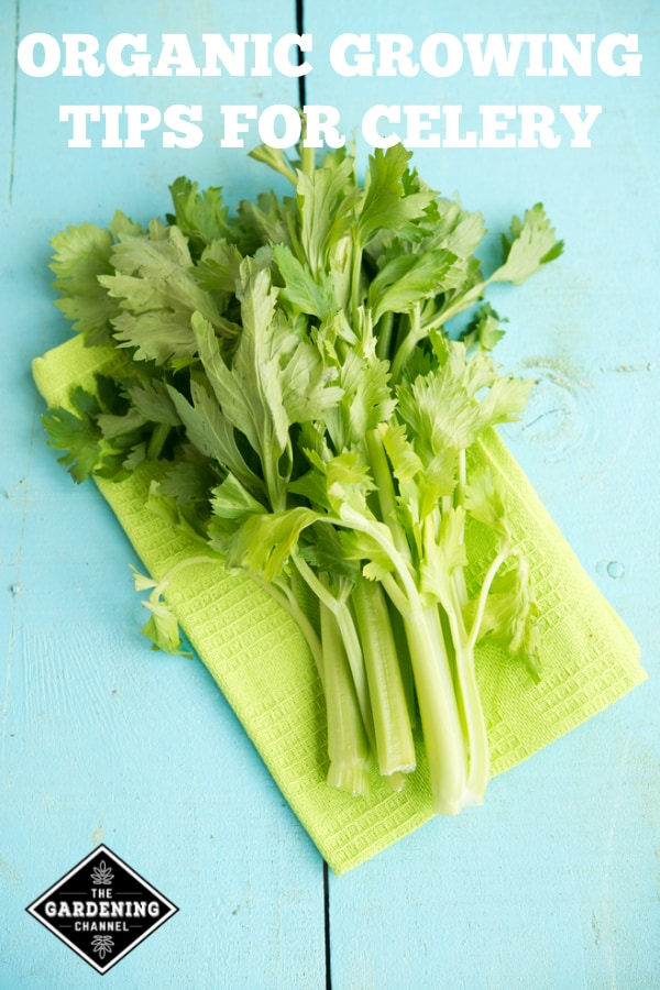 fresh celery with text overlay organic growing tips for celery