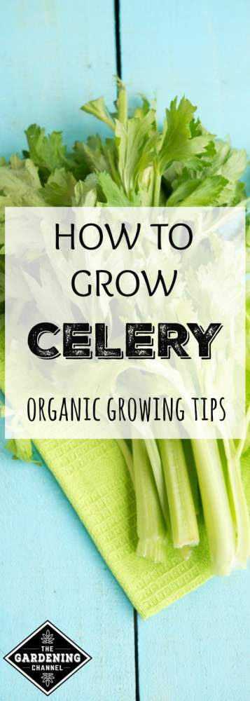 celery on a cutting board with text overlay how to grow celery organic growing tips