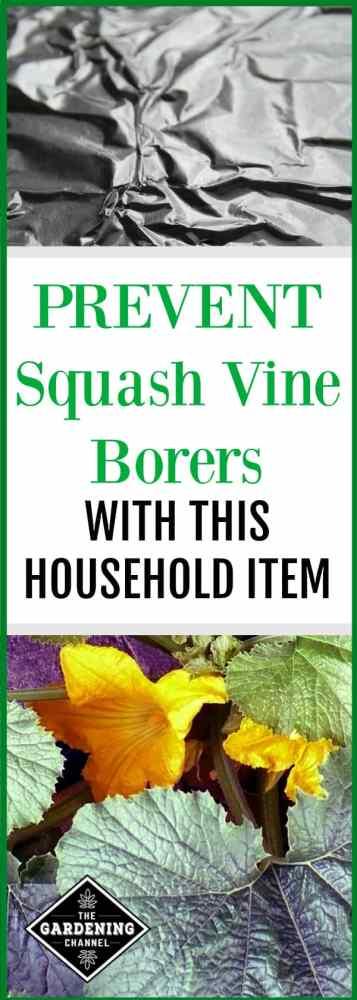 use aluminum foil to prevent squash vine borers