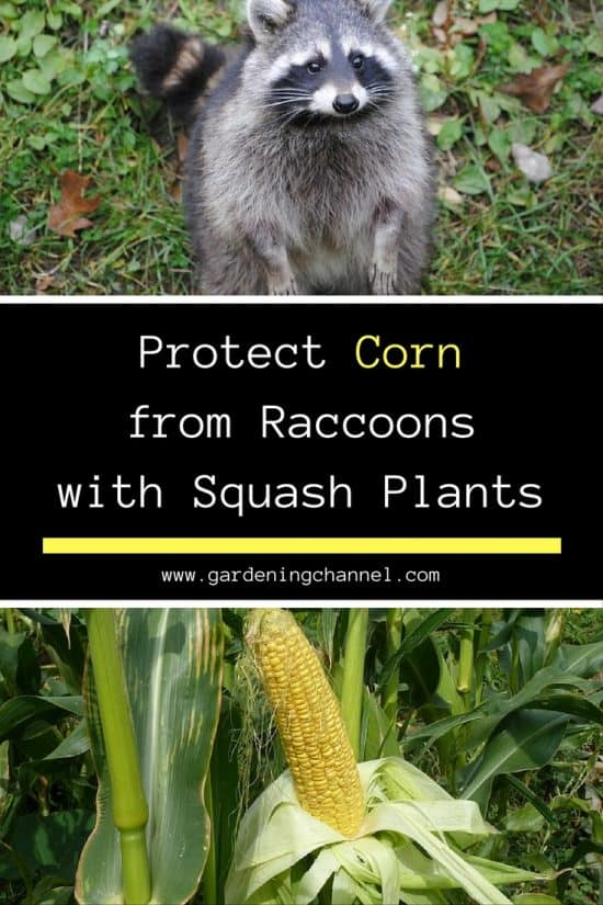 Protect Corn From Raccoons with Squash Plants