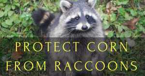 Protect Corn from Raccoons