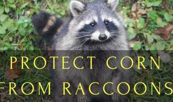 Protect Corn From Raccoons: Even Learn a Trick with Squash Plants