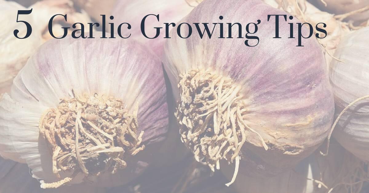 Garlic Growing Tips Gardening Channel