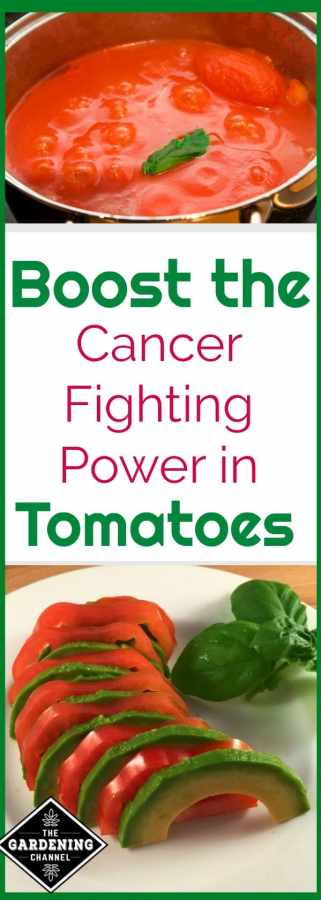 Boost cancer fighting power of tomatoes