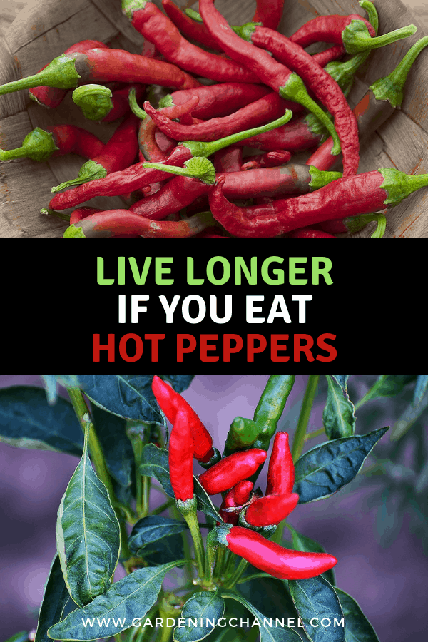 harvested hot peppers and hot peppers growing with text overlay live longer if you eat hot peppers