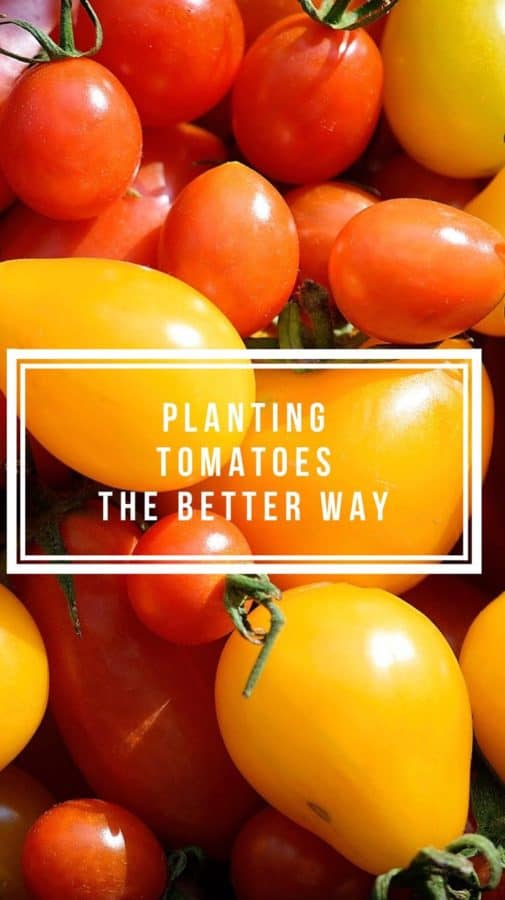 Planting Tomatoes the Better Way
