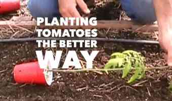 Plant tomatoes sideways for better roots