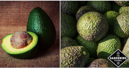 Avocado tips and tricks