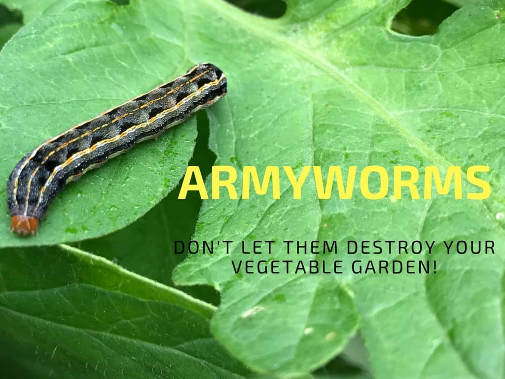 How To Get Rid Of Armyworms In Your Garden Gardening Channel