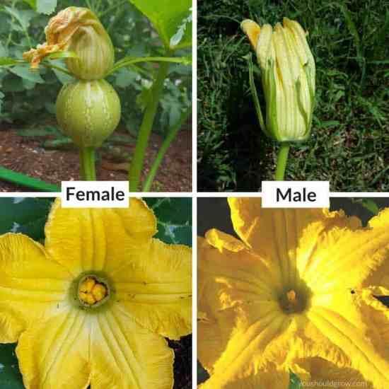male versus female squash flowers