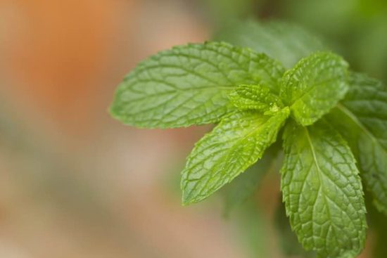 mint growing plant