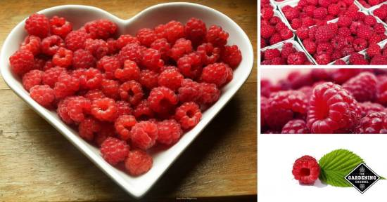 raspberry studies show they are healthy