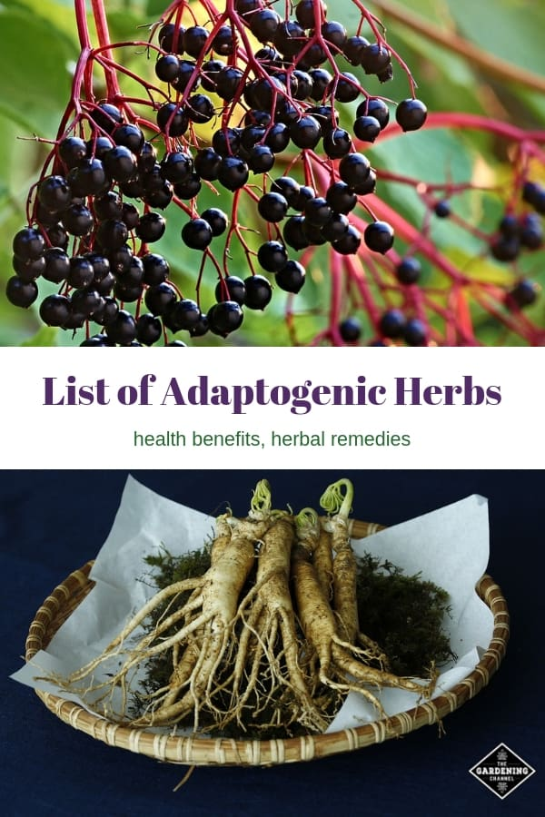 elderberry and harvested ginseng root with text overlay list of adaptogenic herbs health benefits herbal remedies