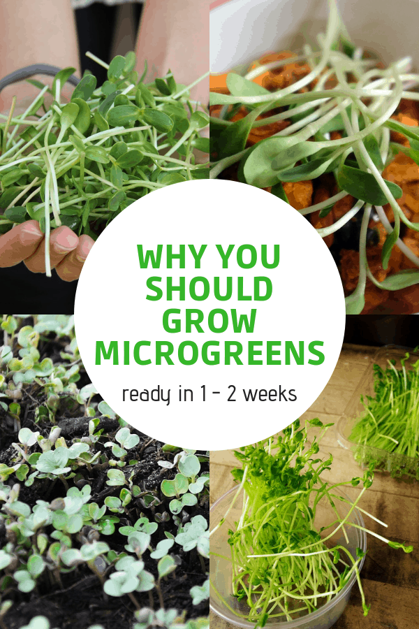 harvested microgreens and microgreens growing with text overlay why you should grow microgreens ready in one to two weeks