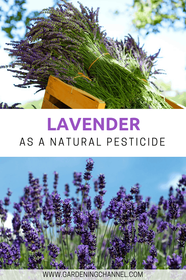 lavender harvested and lavender field with text overlay lavender as a natural pesiticide
