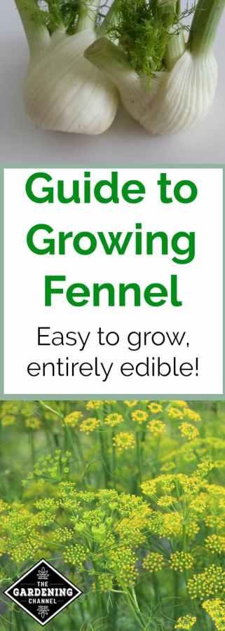 Growing fennel