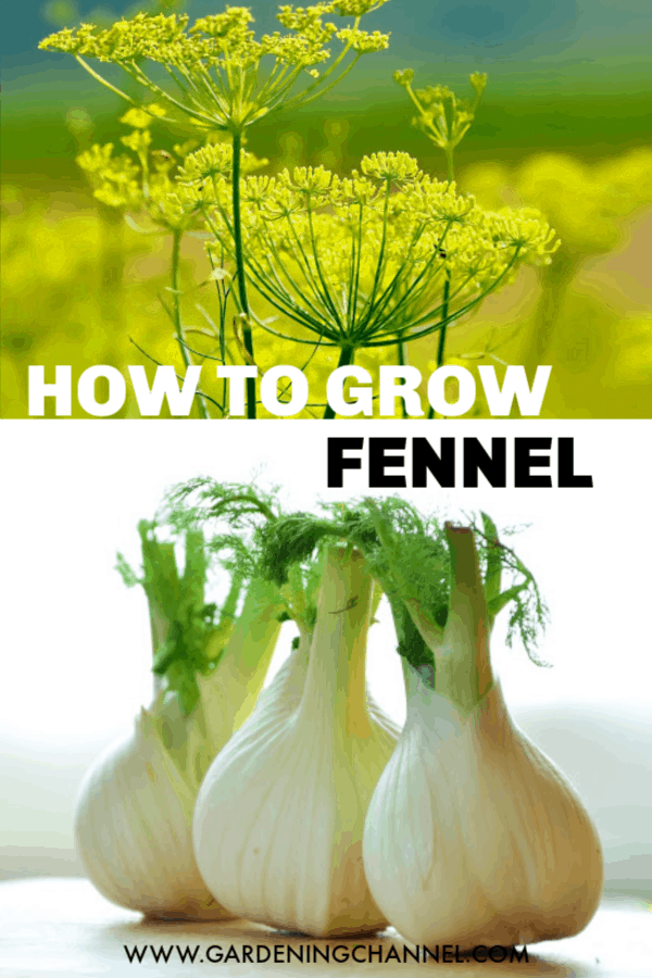 fennel flowers and harvested fennel with text overlay how to grow fennel