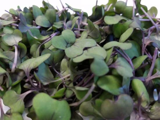 cabbage microgreens