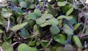 Microgreens provide serious nutrition in a small package