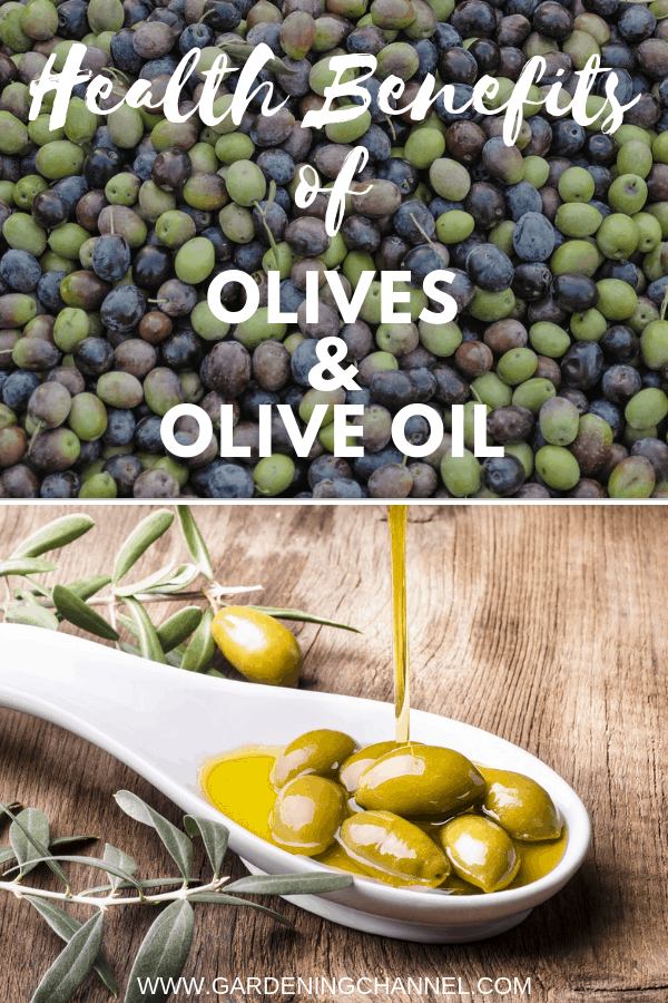 harvested olives and olives in oil with text overlay health benefits of olives and olive oil
