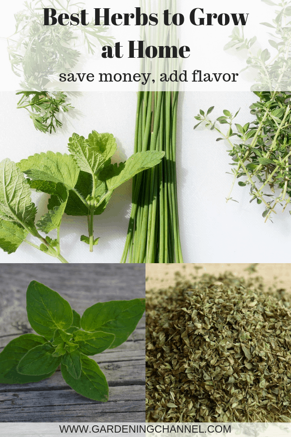 kitchen herbs fresh oregano dried oregano with text overlay best herbs to grow at home save money add flavor