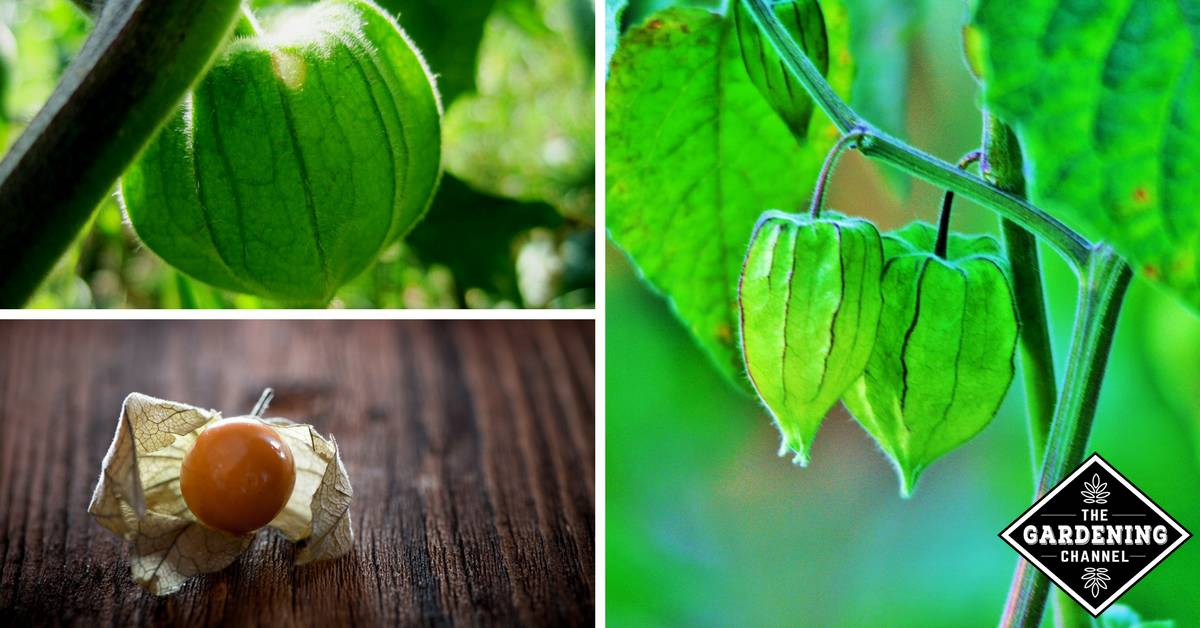 How To Grow Cape Gooseberry Gardening Channel
