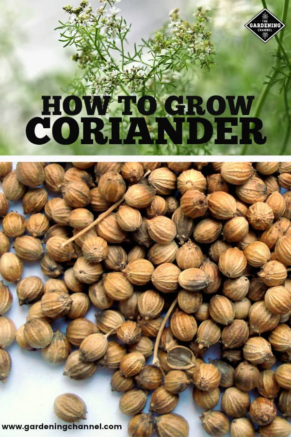coriander herb plant with coriander seeds with text overlay how to grow coriander