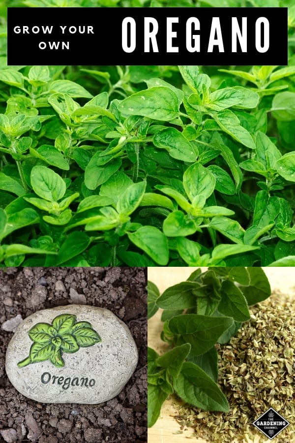 oregano growing harvested oregano and oregano plant marker with text overlay how to grow oregano
