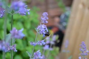 catmint herb blooming