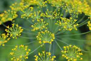 dill blooming