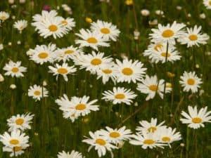 feverfew blooming