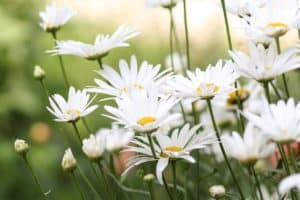 chamomile blooming